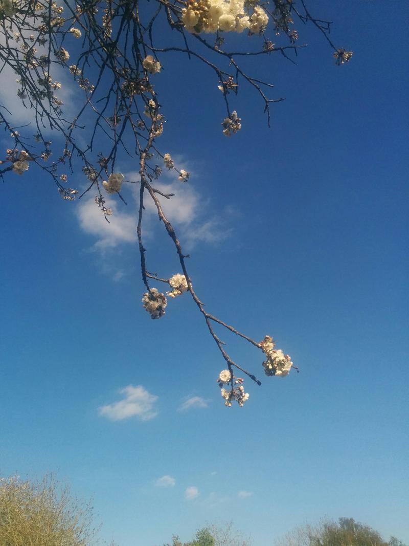 blossom blue sky - An Eastbourne Diary