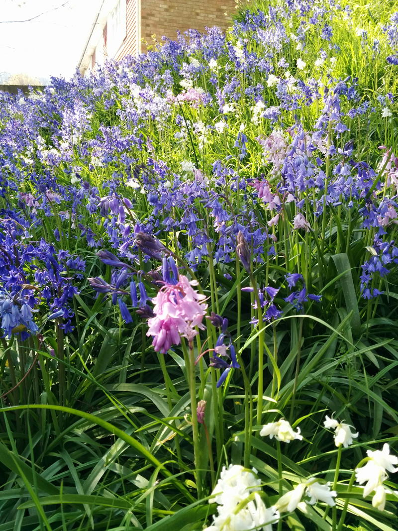 bluebells - An Eastbourne Diary