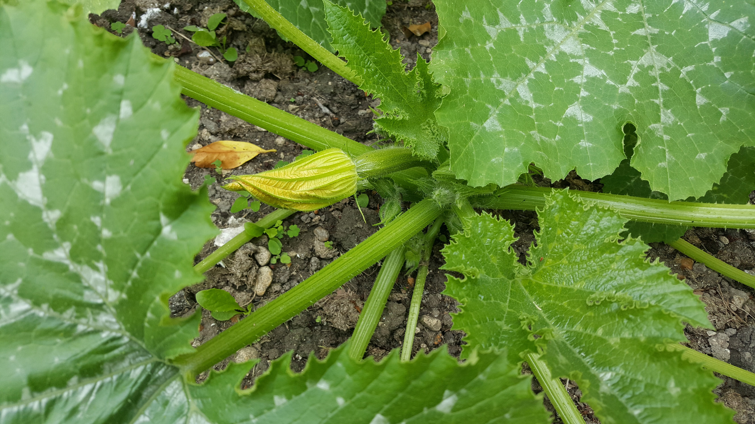 courgette first flower
