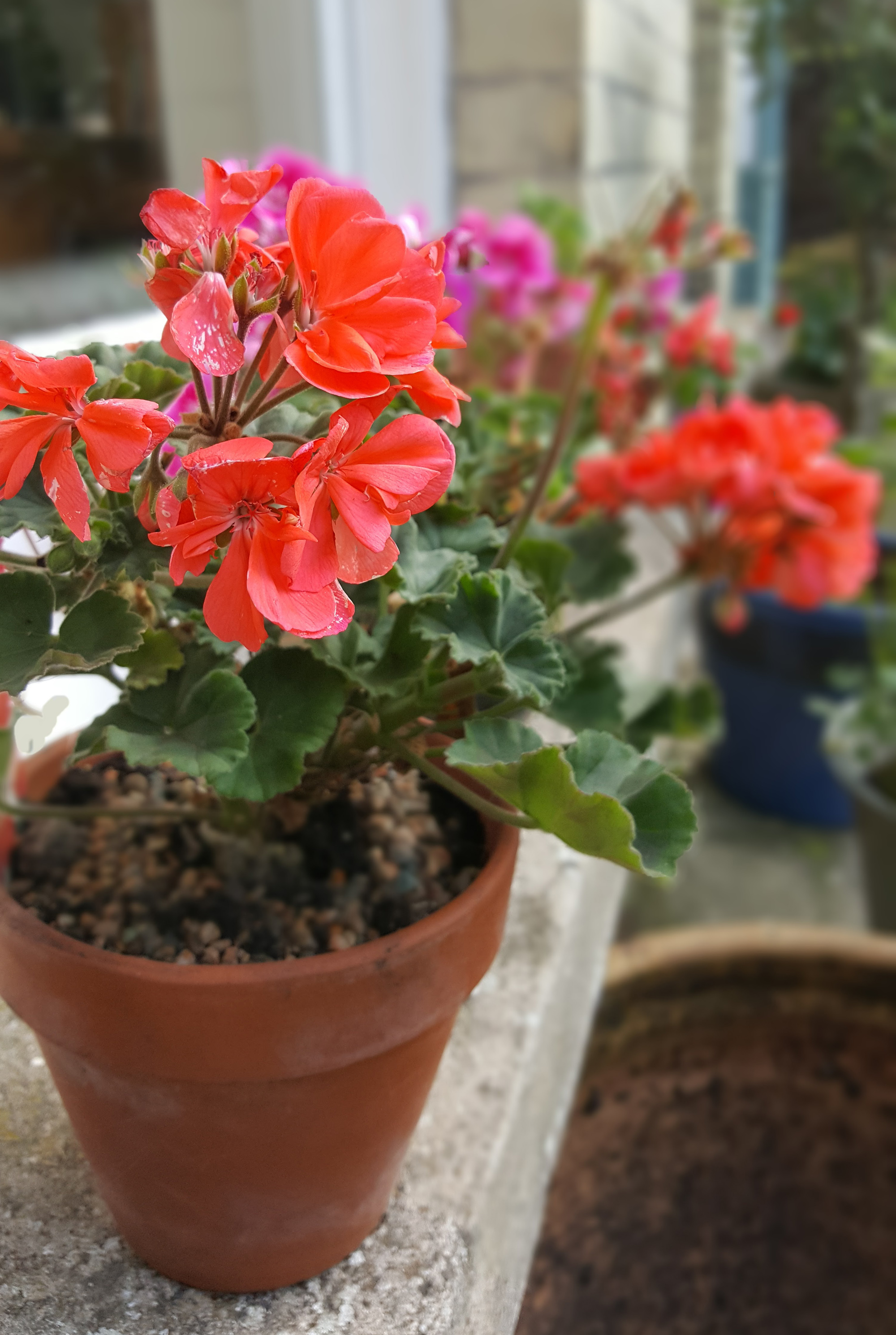 repotted geraniums