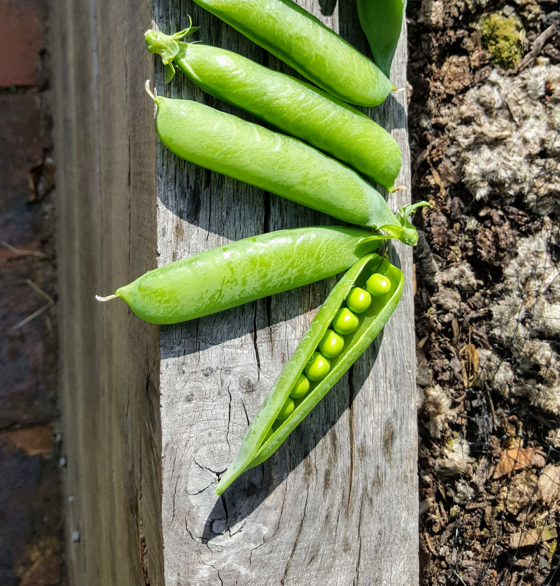 first peas